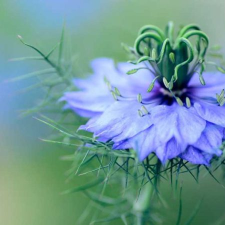 Romantic Flowers - Nigella